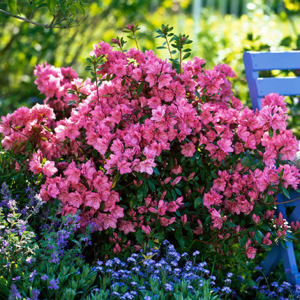 Рододендрон (Азалия японская) Blaauw's Pink (контейнер)