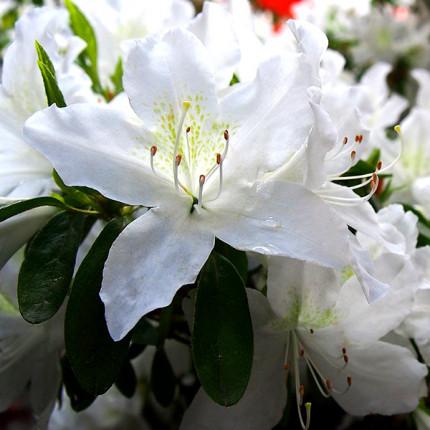Рододендрон (Азалия японская) White lady (контейнер)