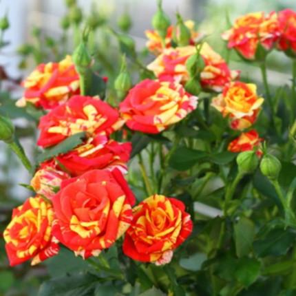 Роза спрей  Флеш Фаер (контейнер)