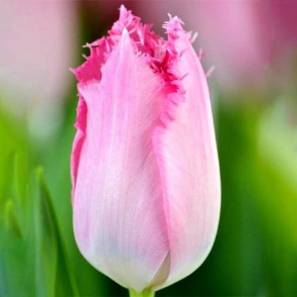 Тюльпан бахромчатый Santander 12/+