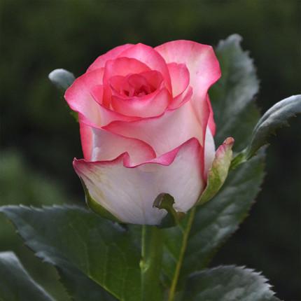 Троянда ч/г Джумілія клас АА