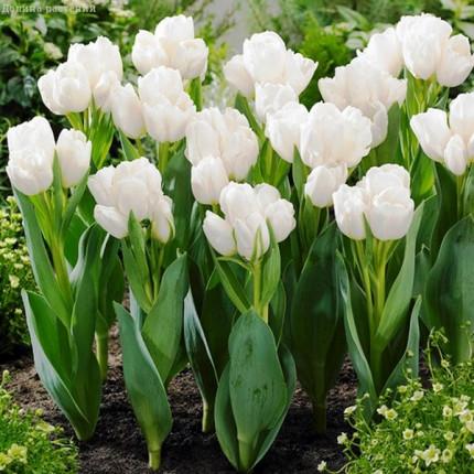 Тюльпан Многоцветковый Weisse Berliner 11/12