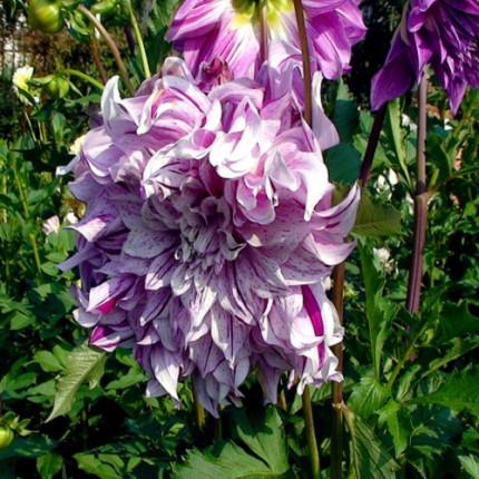 Георгина с гигантским цветком Bristol Stripe