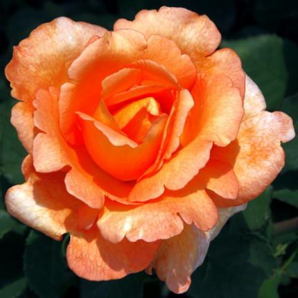 Троянда ч/г Луі де Фюнес клас А