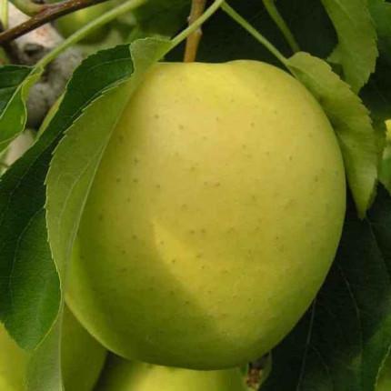 Яблуня Голден Делішес 1 клас