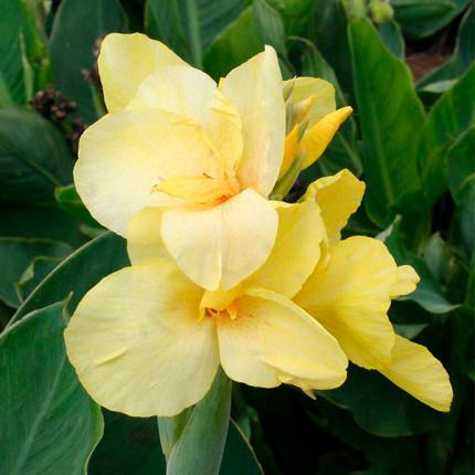 Канна низькоросла Primrose Yellow