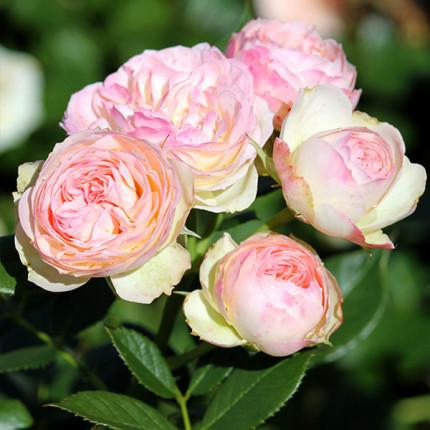 Роза штамбовая Tantau Пастелла (Pastella) 2 прививки