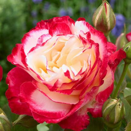 Троянда ч/г Дабл Делайт клас АА