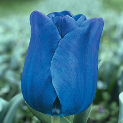 Тюльпан Триумф Blue Aimable 10/11 - оптом