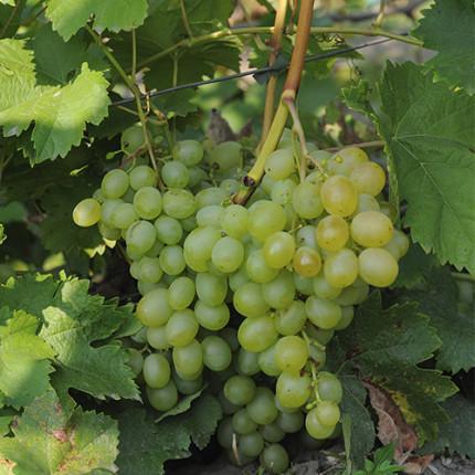 Виноград Світлина (упаковка-пакет)
