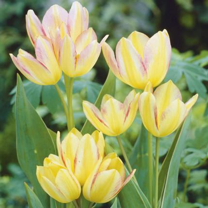 Тюльпан Многоцветковый Antoinette 10/11
