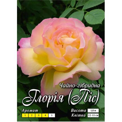 Троянда ч/г Глорія клас АА