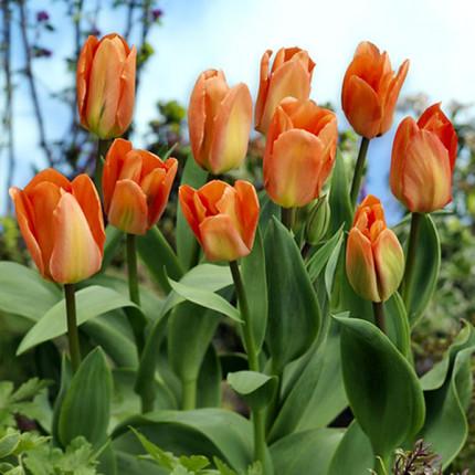 Тюльпан гібрид Фостера Apricot Emperor 12/+