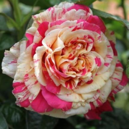 Роза плетистая Ванила Фрайз класс АА