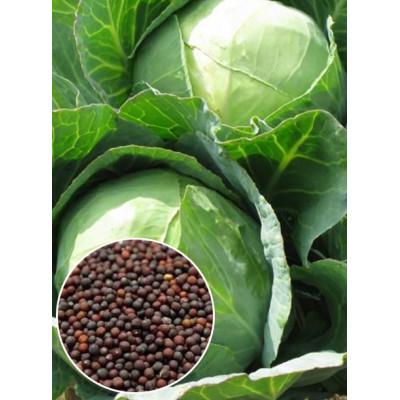 Капуста Білоруська вагова (насіння) 1 кг - оптом