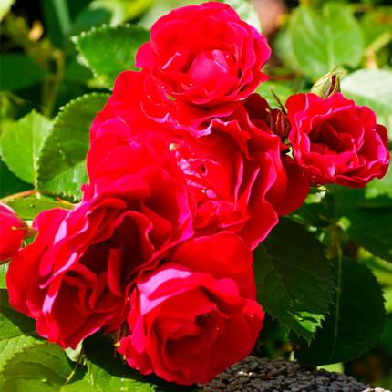 Троянда штамбова Фламентанз 1 прививка