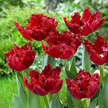 Тюльпан бахромчатый Maywood 12/+
