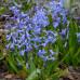 Гіацинт багатоквітковий Blue Festival 16/17 - оптом