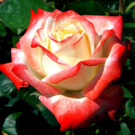 Троянда ч/г Імператриця клас АА