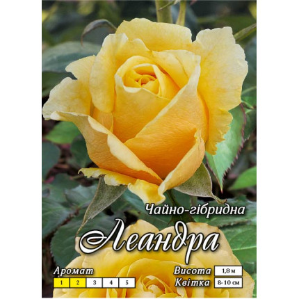 Троянда ч/г Леандра (контейнер)