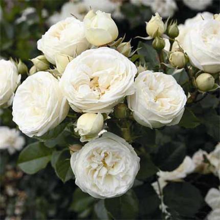 Роза штамбовая Tantau Артемис (Artemis) 2 прививки