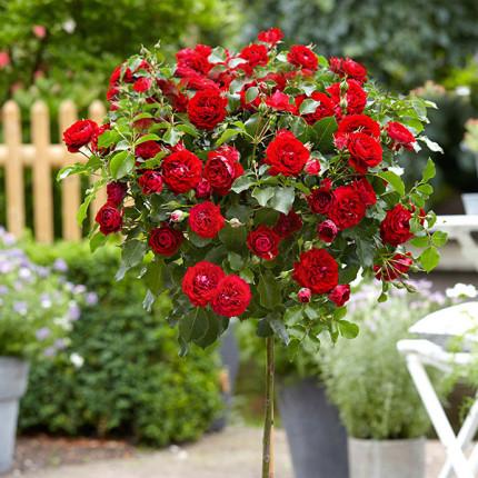 Роза штамбовая Закат 2 прививки