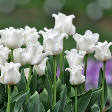 Тюльпан волнистый White Liberstar 12+