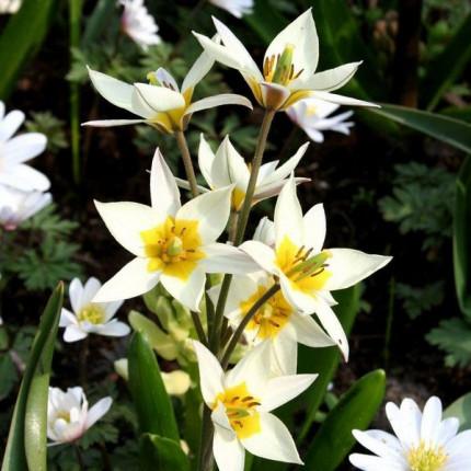 Тюльпан Ботанический Turkestanica 5/+