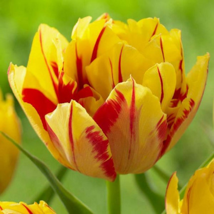 Тюльпан махровий Monsella 12/+