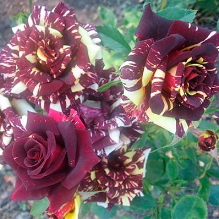 Троянда штамбова Абракадабра  1 прививка