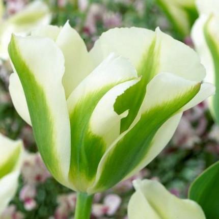 Тюльпан Виридифлора Spring Green 10/11