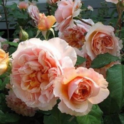 Роза английская Персиковое Чудо (контейнер)