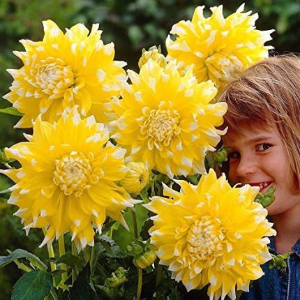 Жоржина з гігантською квіткою Grand Prix