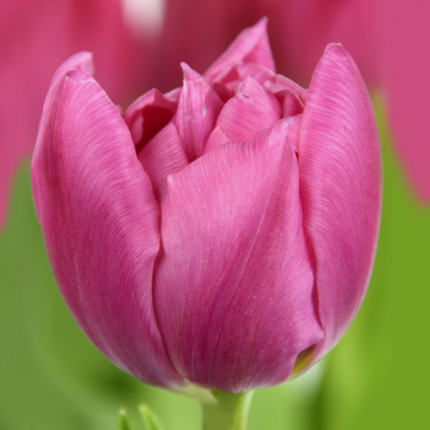 Тюльпан махровий Oeral 12/+