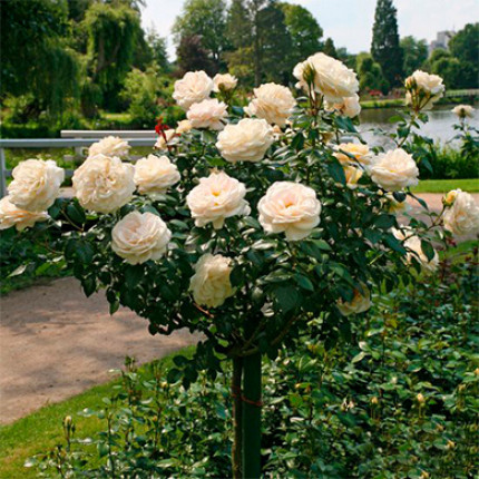 Троянда штамбова Аваланж 1 прививка
