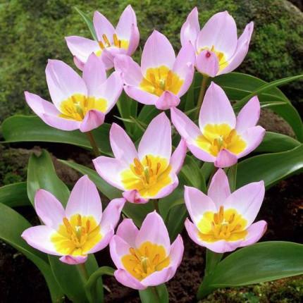 Тюльпан Ботанический Lilac Wonder 5/+