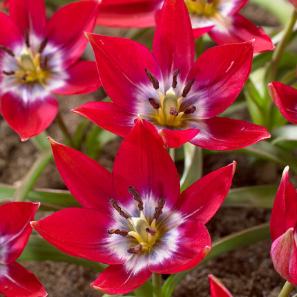 Тюльпан Ботанический Tiny Timo 5/+