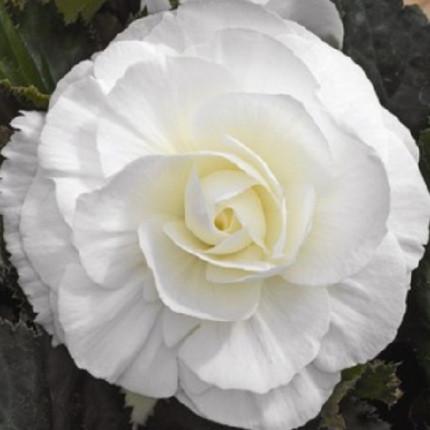 Бегония Махровая Белая