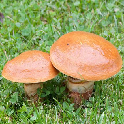 Масленок обыкновенный 50 г (мицелий грибов)