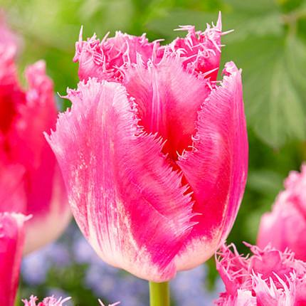 Тюльпан бахромчатый Izumi 12/+