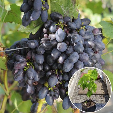 Виноград Кубань (контейнер 2 л)