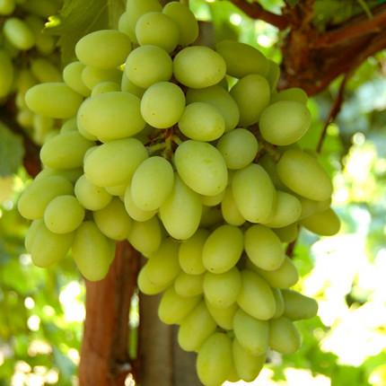 Виноград Ізюминка ранняя (упаковка-пакет)