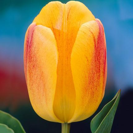 Тюльпан гібрид Дарвіна Beauty of Apeldoorn 12/+