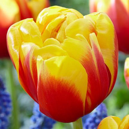 Тюльпан махровий Shell 12/+