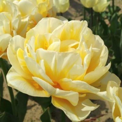 Тюльпан Махровый Flaming Evita 10/11 - оптом