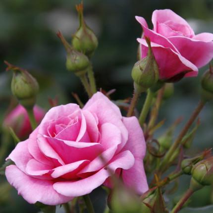Роза флорибунда Лили Марлен (контейнер)