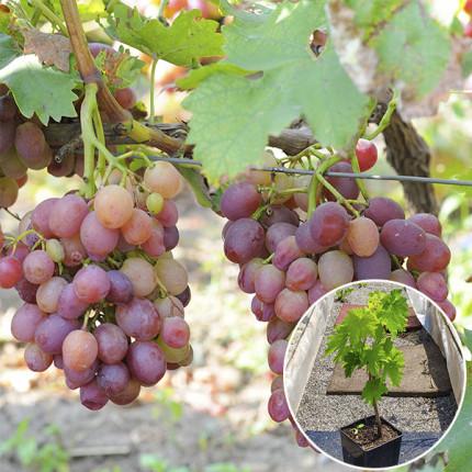 Виноград Ливия (контейнер)