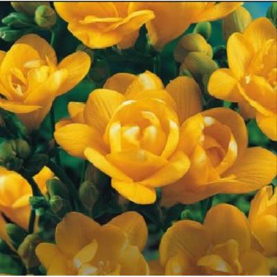 Фрезия махровая Yellow - оптом