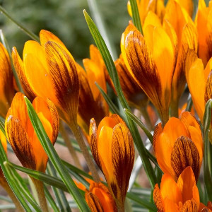 Крокус ботанический Orange Monarch 5/7