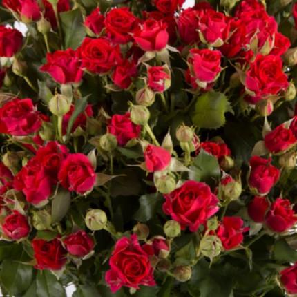 Роза спрей Мирабель класс  А